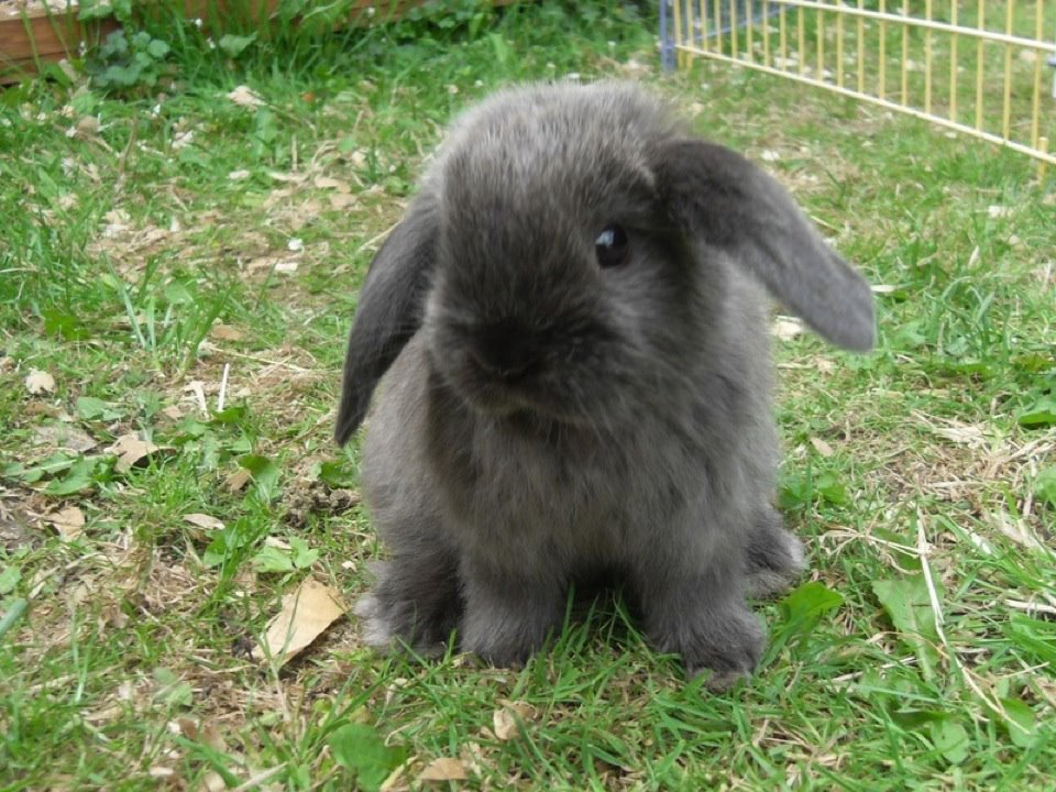 Babies for Sale - Yorkshire Mini Lops Leeds breeder of mini lop ...